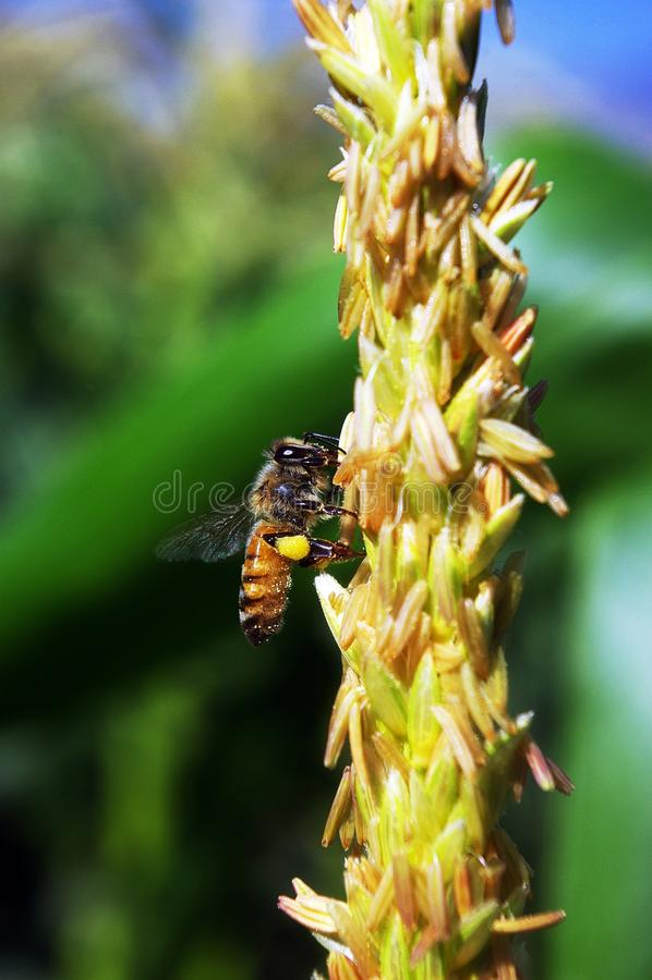 Pszczoła rojowy kukurydzany kwiat zdjęcie royalty free