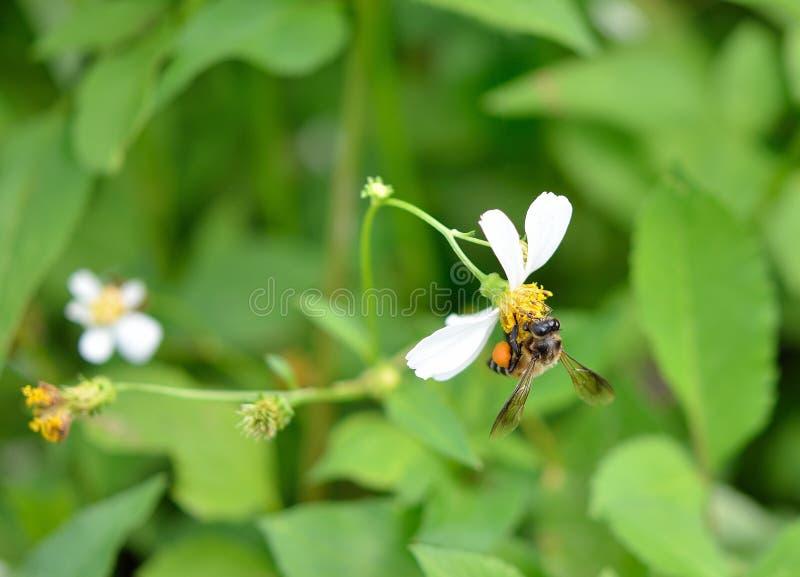 Pszczoła ruchliwie pije nektar obraz royalty free