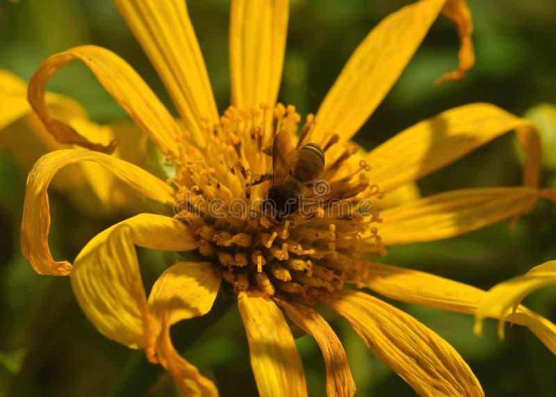 Pszczoła ruchliwie pije nektar fotografia stock