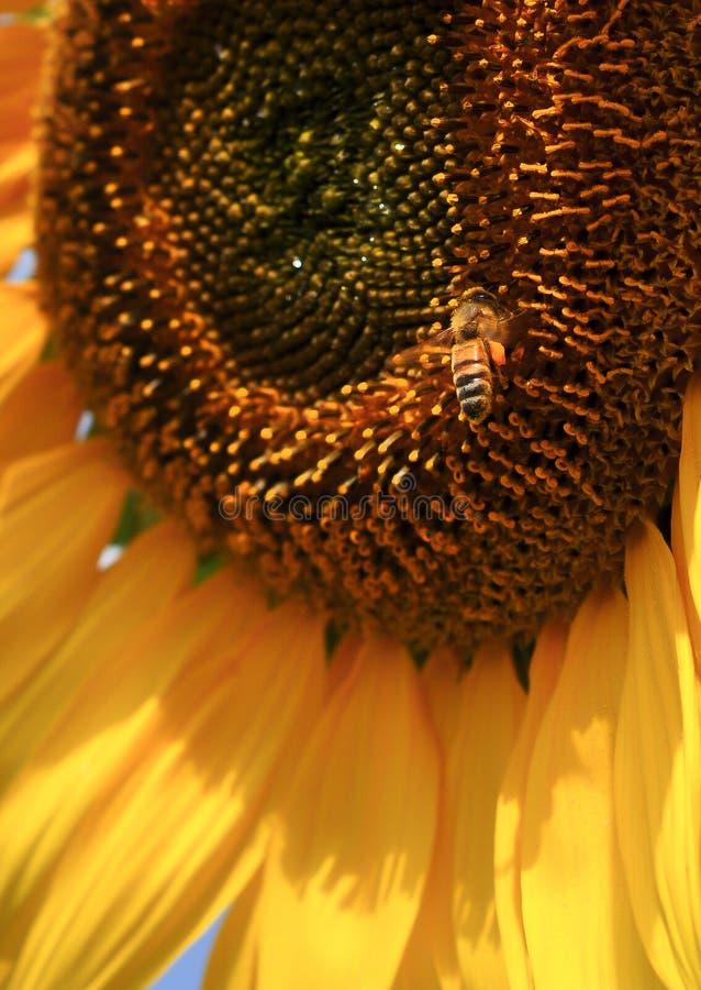 Pszczoła Słonecznik Zdjęcie Royalty Free