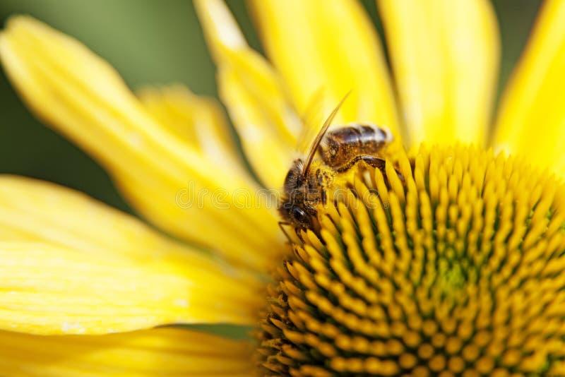 Pszczoła ssa nektar od żółtego kwiatu w Umea zdjęcia stock