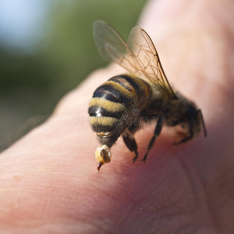 Pszczoła Sting - broń obrona i atak obrazy royalty free