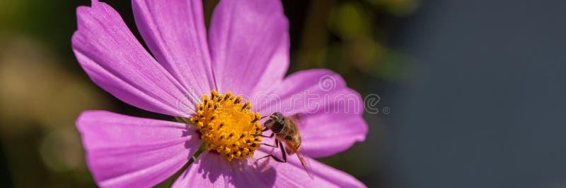 Pszczoła truteń zbiera nektar od purpura kwiatu, w górę Sieć sztandar zdjęcie royalty free