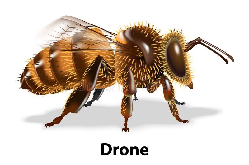 Pszczoła trutnia strony wektor na białym tle royalty ilustracja