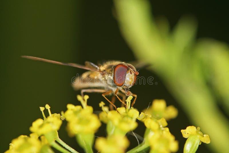 Pszczoła umieszczająca na gałąź fotografia royalty free