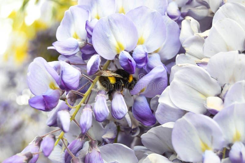 Pszczoła utrzymuje karmę dla miodu na kwiacie obraz stock