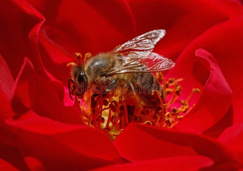 Pszczoła wśrodku czerwieni róży zdjęcie royalty free