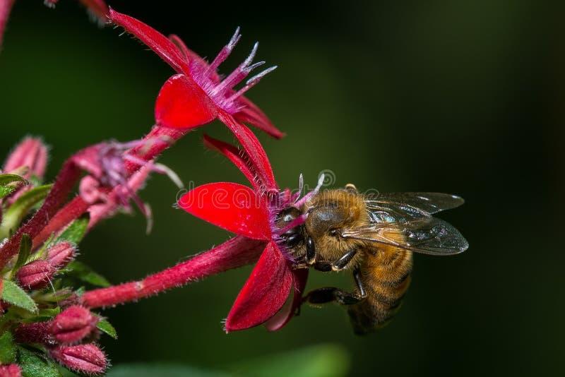 Pszczoła w czerwonym kwiacie obraz stock