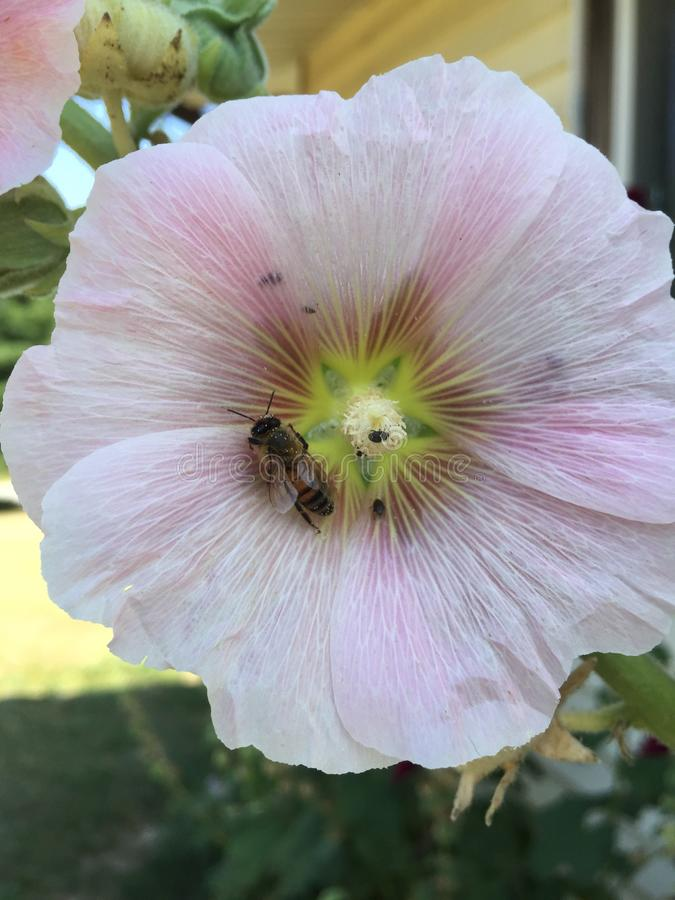 Pszczoła w Hollyhock obraz royalty free