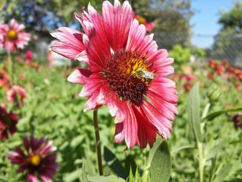 Pszczoła w kwiacie obrazy royalty free