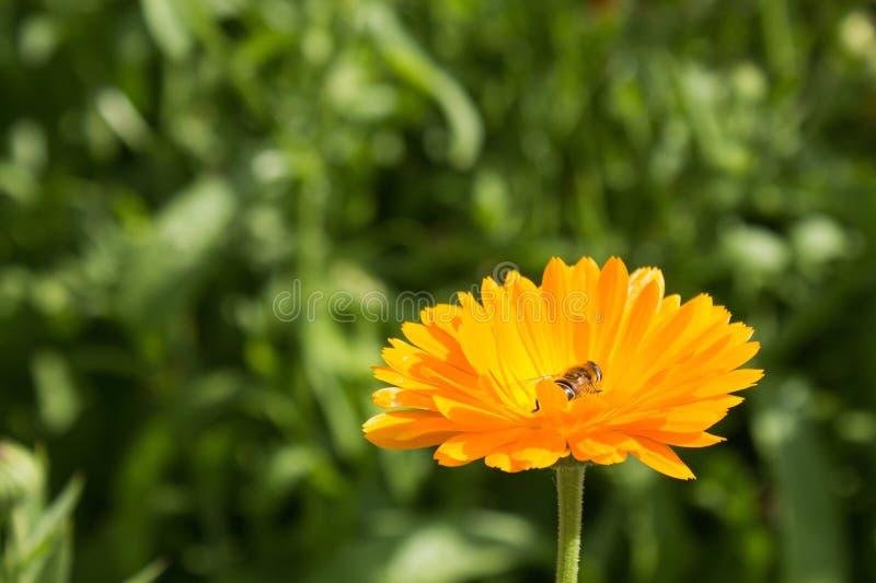 Pszczoła w kwiacie zadziwia, honeybee zapylający kolor żółty obraz royalty free