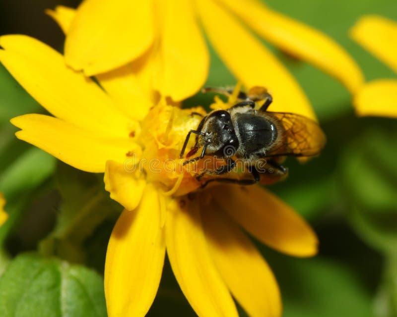 Pszczoła w kwiat pszczole zadziwia, honeybee zapylający żółty kwiat zdjęcia royalty free