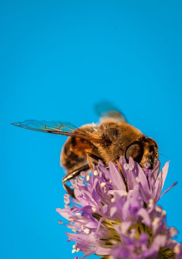 Pszczoła w lawendzie obrazy stock