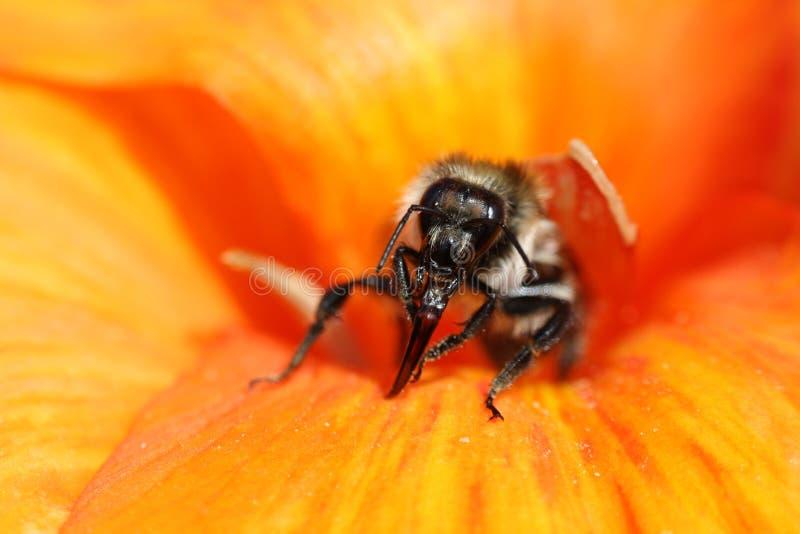 Pszczoła w naturze zdjęcia royalty free