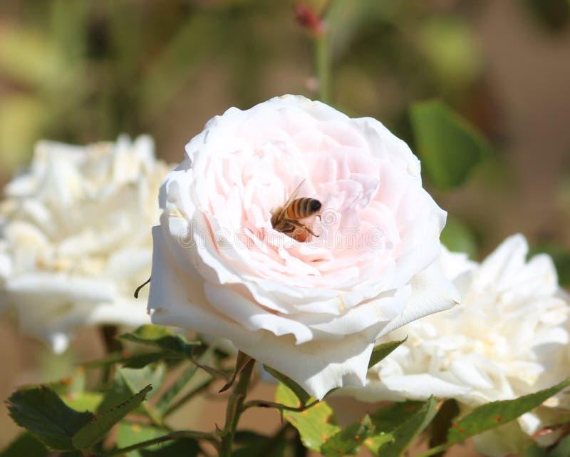 Pszczoła w róży obrazy stock