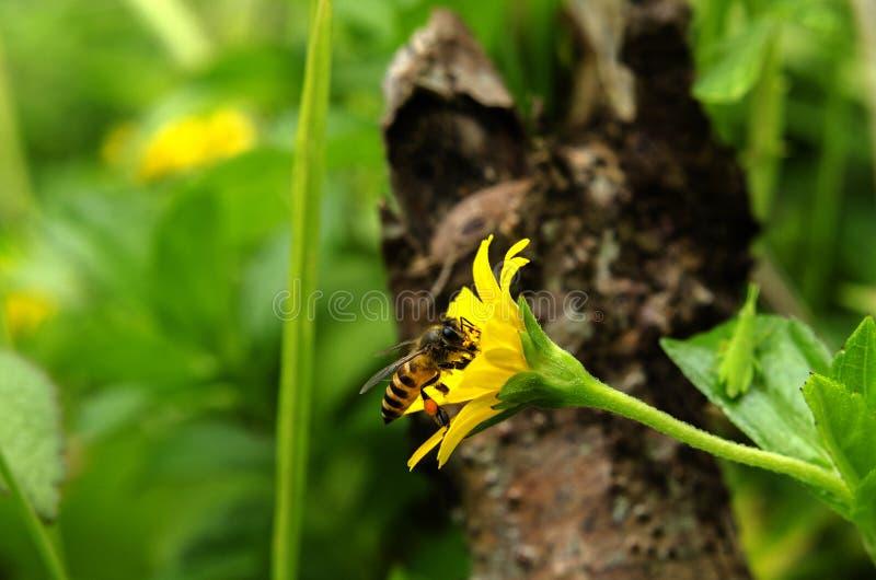 pszczoła wyszczególniający miód odizolowywający macro brogował bardzo biel zdjęcie stock
