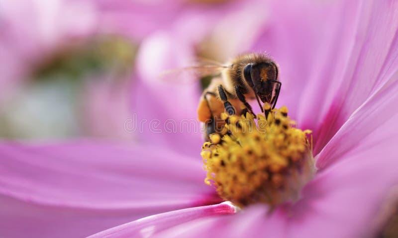 pszczoła wyszczególniający miód odizolowywający macro brogował bardzo biel zdjęcia royalty free