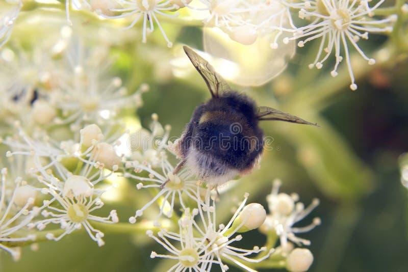 Pszczoła yourself obrazy royalty free