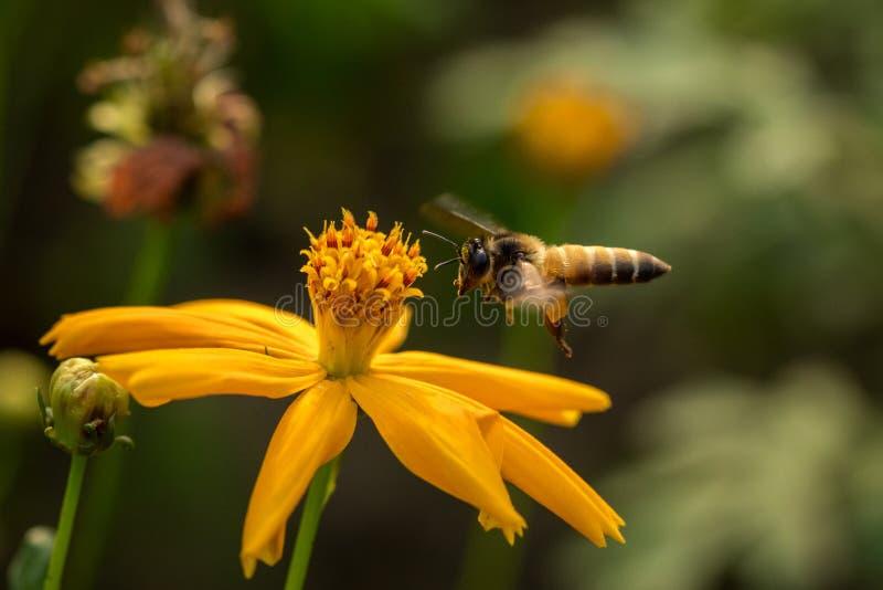 Pszczoła z kwiatami obraz royalty free