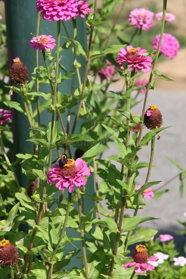Pszczoła z menchia kwiatem zdjęcia royalty free