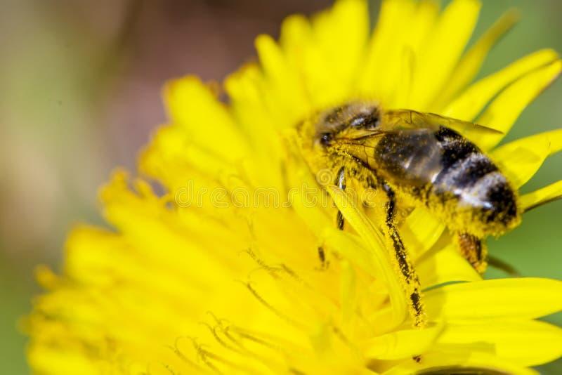 Pszczoła z pollen na swój nogach i głowie zdjęcie stock