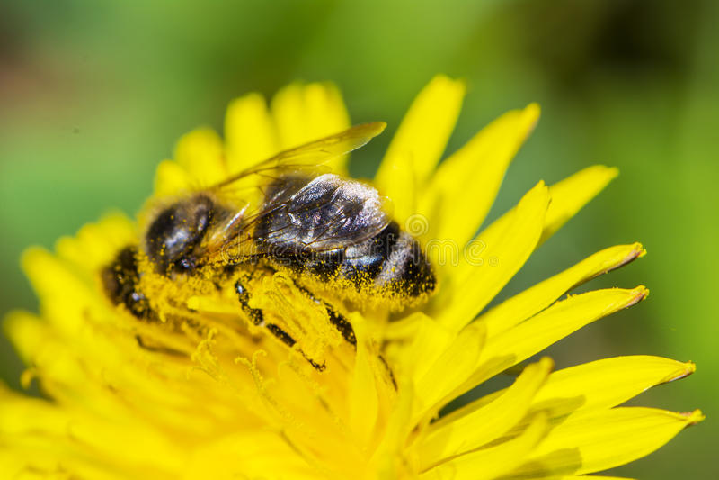 Pszczoła z pollen na swój nogach i głowie obraz royalty free