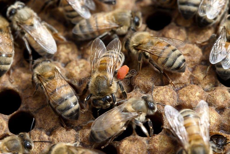 Pszczoła z pomarańczowym pollen na nogach w roju zdjęcia royalty free