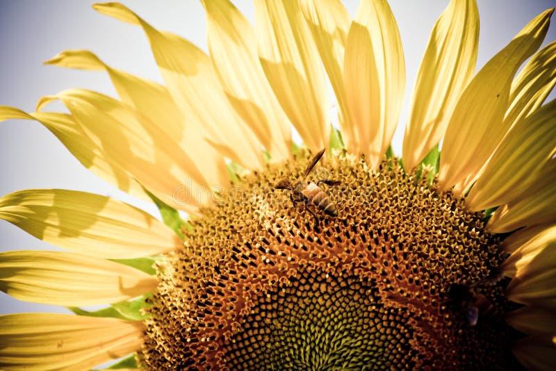 Pszczoła z słonecznikiem obraz stock