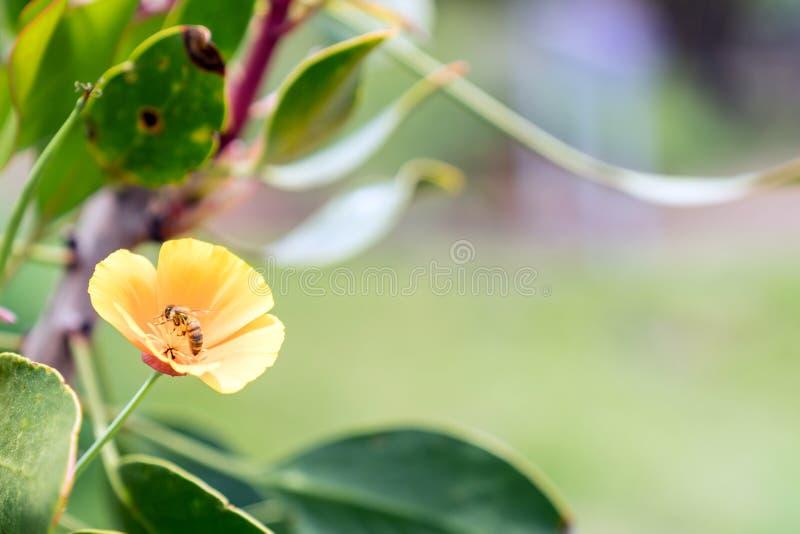 Pszczoła Zapyla Żółtego kwiatu w Maui, Hawaje fotografia stock
