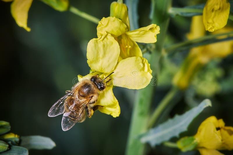 Pszczoła zapyla żółtych kale kwiaty fotografia royalty free