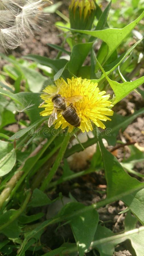 Pszczoła zapyla dandelion obraz royalty free