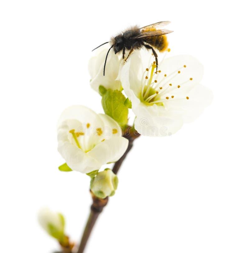 Pszczoła zapyla kwiatu - Apis mellifera zdjęcie royalty free
