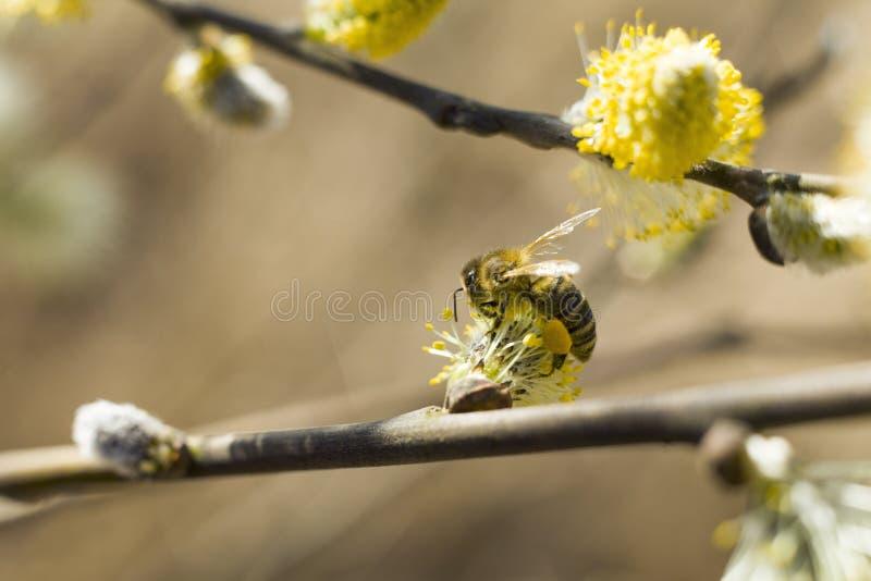 Pszczoła zapyla kwitnącego drzewa obrazy royalty free