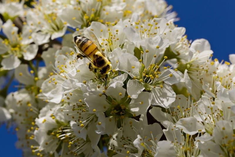 Pszczoła zapyla na białych kwiatach fotografia stock
