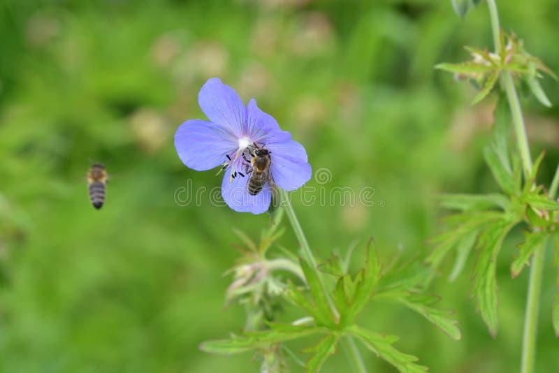 Pszczoła zapyla na kwiacie zdjęcia stock