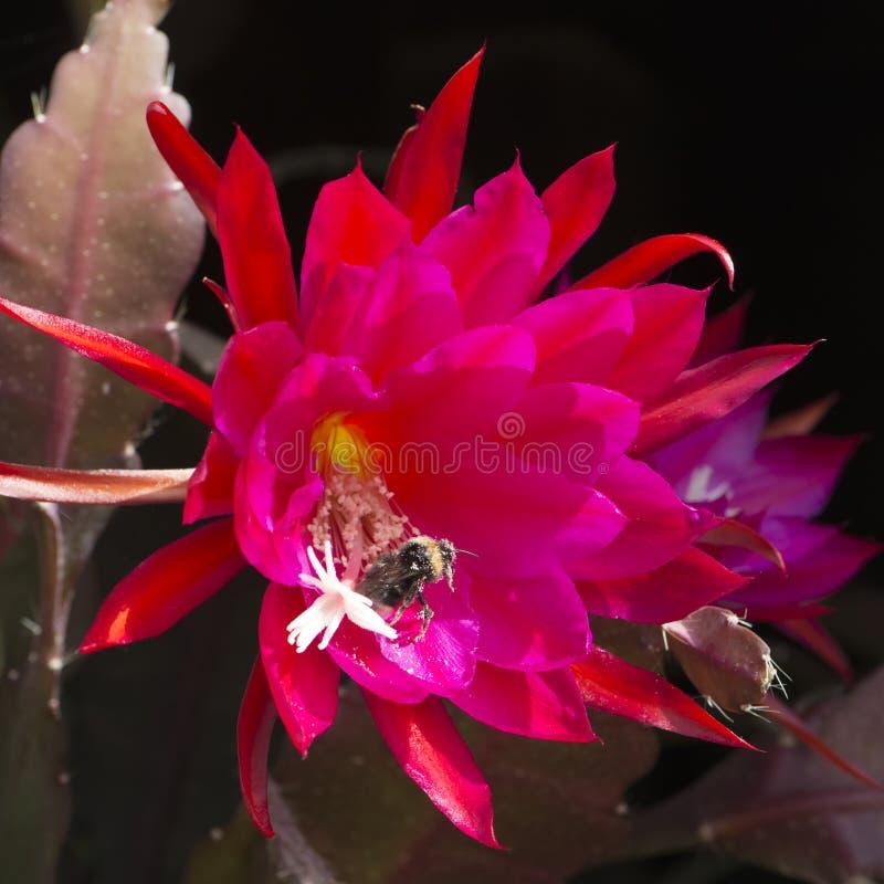 Pszczoła zapyla w płonąć czerwonego kaktusowego kwiat obrazy royalty free