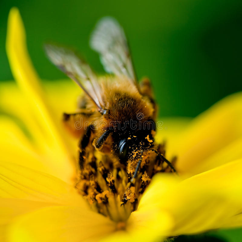 pszczoła zbiera kwiatu nektar fotografia royalty free
