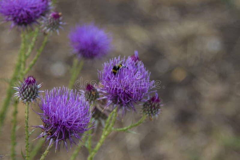 Pszczoła zbiera miód na lilym kwiacie mount dziki kwiat Makro- tryb fotografia stock
