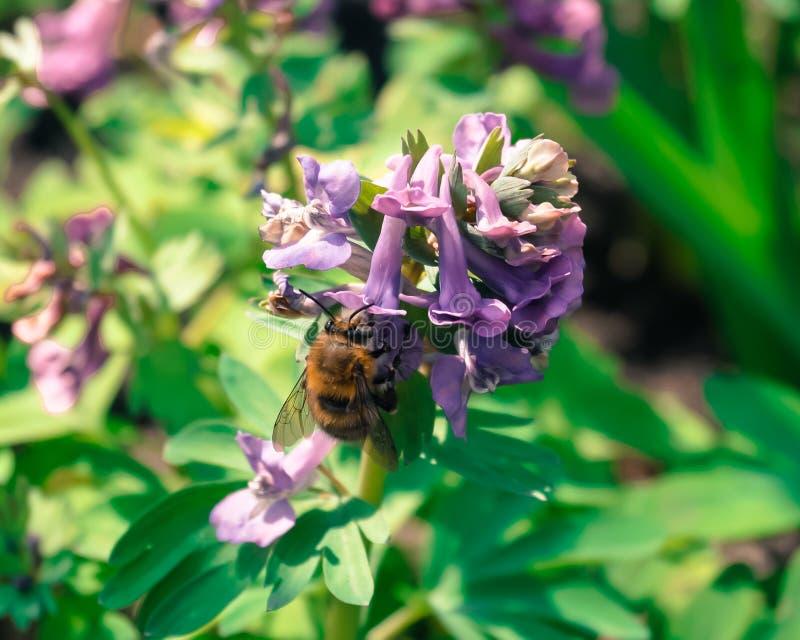 pszczoła zbiera miód od purpurowego kwiatu obraz royalty free