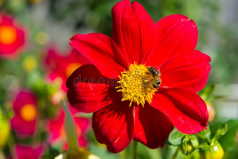 pszczoła zbiera nektar obraz royalty free