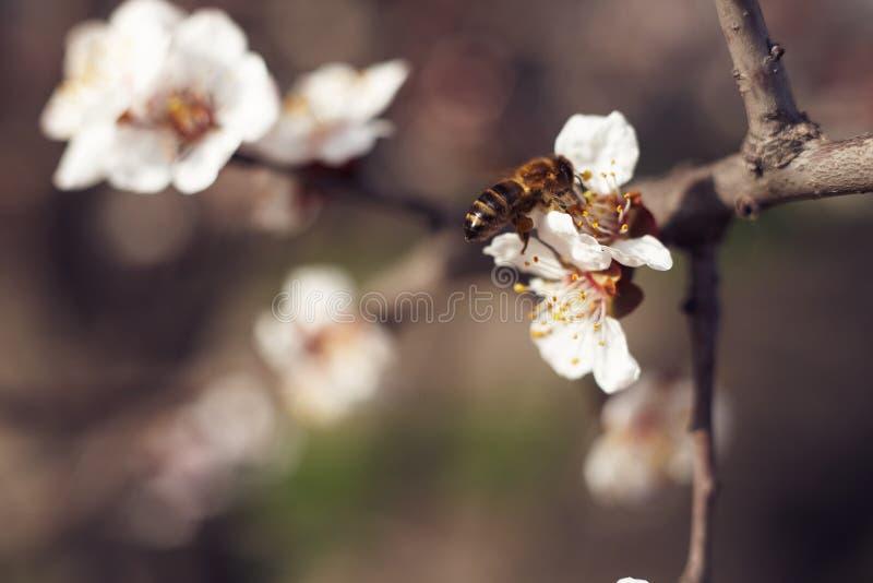 pszczoła zbiera nektar obrazy stock