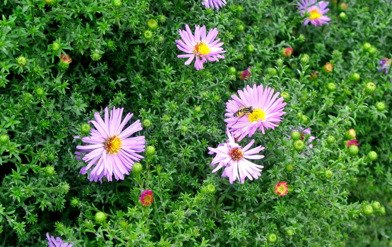 pszczoła zbiera nektar fotografia stock