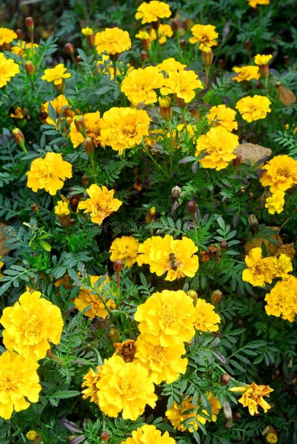 pszczoła zbiera nektar obrazy royalty free