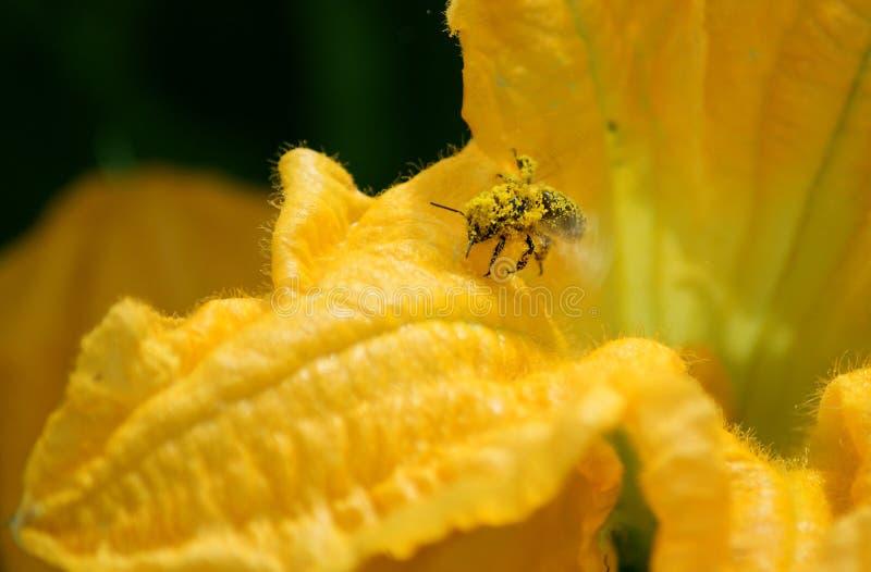 Pszczoła zbiera nektar i pollen obrazy stock