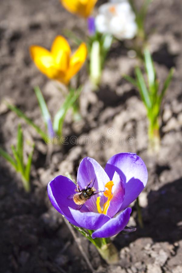 Pszczoła zbiera nektar na krokusa kwiacie fotografia royalty free