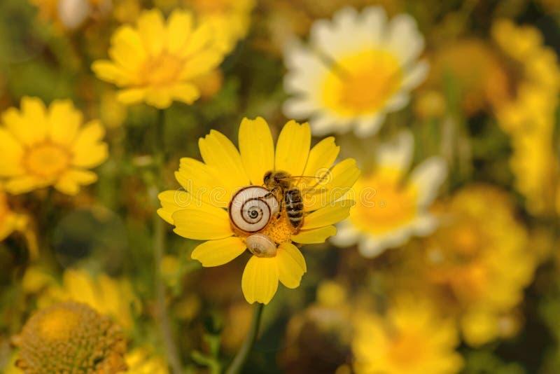 Pszczoła zbiera nektar na kwiacie zdjęcie royalty free