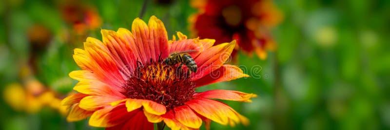 Pszczoła zbiera nektar na kwiacie w parku Sztandar dla projekta obraz stock