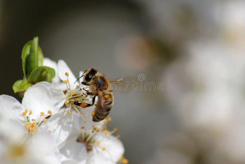 pszczoła zbiera nektar na kwiatach biały kwitnący jabłko Anthophila, Apis mellifera zdjęcia stock