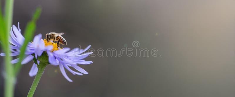 Pszczoła zbiera nektar na purpurowym kwiacie Prawy miejsce pod reklamowym podpisem obraz stock