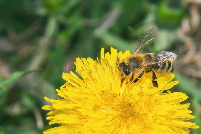 Pszczoła zbiera nektar od żółtego kwiatu zdjęcia royalty free